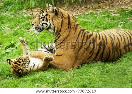 A tiger and her cub playing on the grass. - stock photo