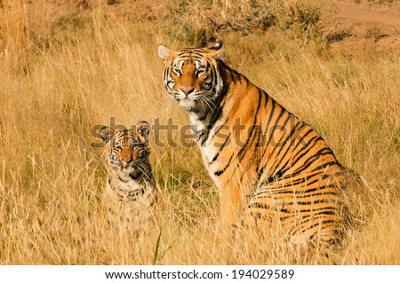 A tiger and its cub - stock photo