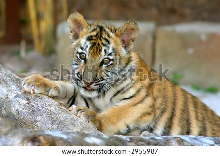 A tiger cub of mixed Bengal and Siberian parentage playing in its enclosure - stock photo