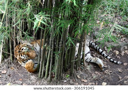A Tiger Half Lying and Relaxing Under Bamboo Trees - stock photo