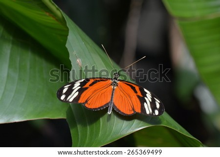A Tiger Helicon butterfly lands in the butterfly gardens. - stock photo