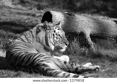 A tiger laying down in the zoo