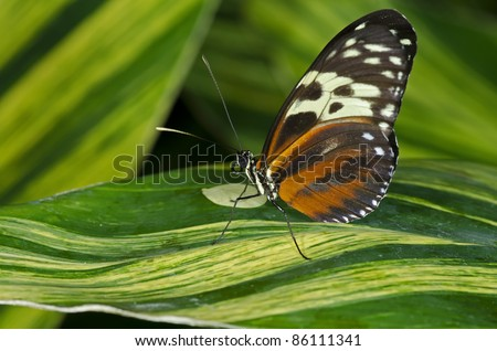 A Tiger Longwing Butterfly (Heliconius hecale) of the Nymphalidae family, ranging in Central and South America. - stock photo
