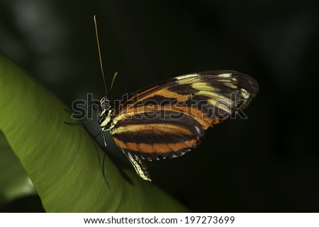 A Tiger Longwing, (Golden Helicon), Heliconius hecale, butterfly of the family Nymphalidae. - stock photo