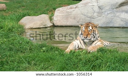A tiger lying in the water - stock photo
