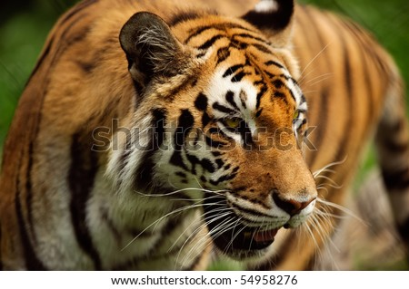 A tiger paces in its lair in horizontal - stock photo