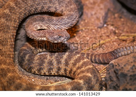 A Tiger Rattlesnake (Crotalus tigris) rattles and flicks tongue in Arizona, USA. Its toxicity is considered to be the highest of all rattlesnake venoms, and highest of all snakes in the Americas. - stock photo