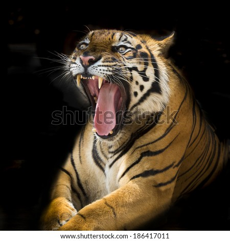A tiger ready to attack - stock photo