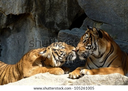 A Tiger's Kiss - stock photo