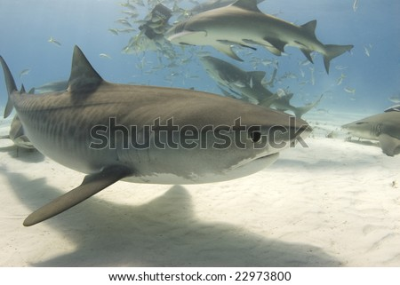 A tiger shark (Galeocerdo curvier) swims by as lemon sharks eat behind her - stock photo