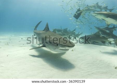 A tiger shark (Galeocerdo curvier) swims toward the camera as lemon sharks (negaprion brevirostris) eat behind her. - stock photo