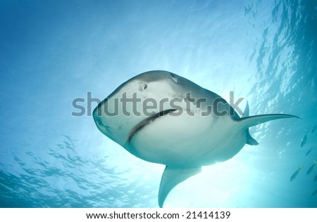 A Tiger Shark (Galeocerdo cuvier) begins to cover her eyes as she descends towards the camera from above in line with the sun shining through the surface of the ocean. - stock photo