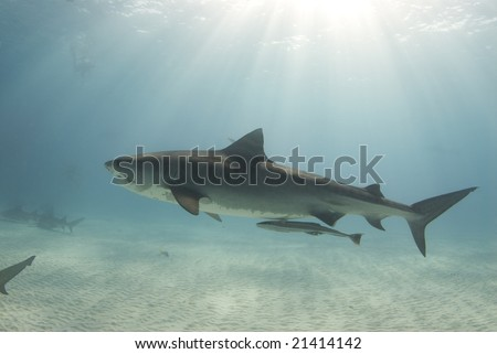 A tiger shark (Galeocerdo cuvier) swims through the ocean cast in rays from the sun as it cuts through the water - stock photo
