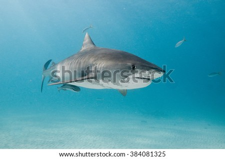 A tiger shark swimming alone in the shallows of a clear, blue ocean. - stock photo