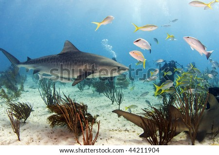 A tiger shark swimming through a school of fish. - stock photo