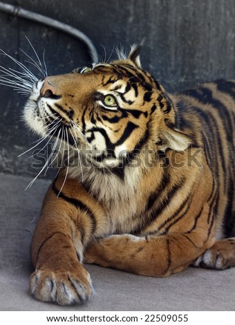A tiger sitting down, watching - stock photo