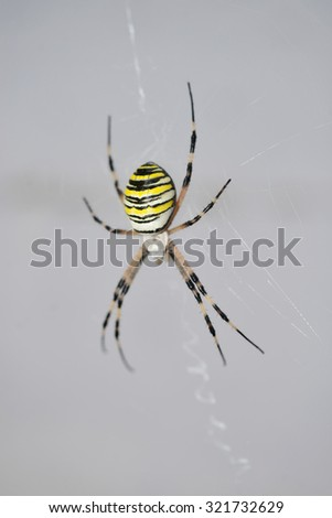 A Tiger Spider in his web - stock photo
