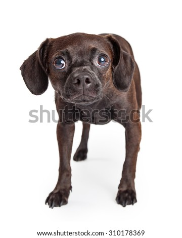A timid and shy looking black color Beagle and Chihuahua crossbreed dog cowering and looking forward - stock photo