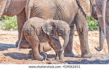 A tiny African Elephant calf, Loxodonta africana, surrounded by its family group - stock photo