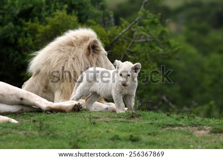 A tiny baby white lion cub rubs heads with her dad, showing love and affection and strengthening the bond in the pride. - stock photo