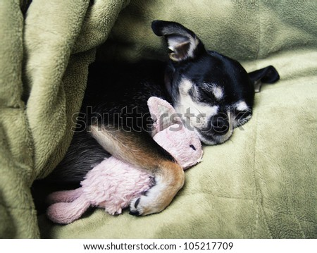a tiny chihuahua cuddling with his pink bunny stuffed animal toy - stock photo