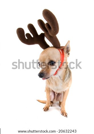 a tiny chihuahua dressed as a reindeer - stock photo