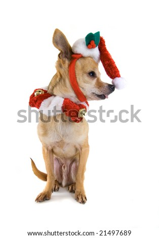 a tiny chihuahua dressed in a santa outfit