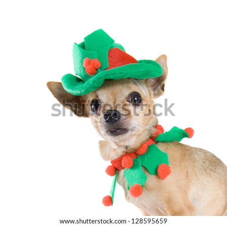 a tiny chihuahua dressed up as an elf - stock photo