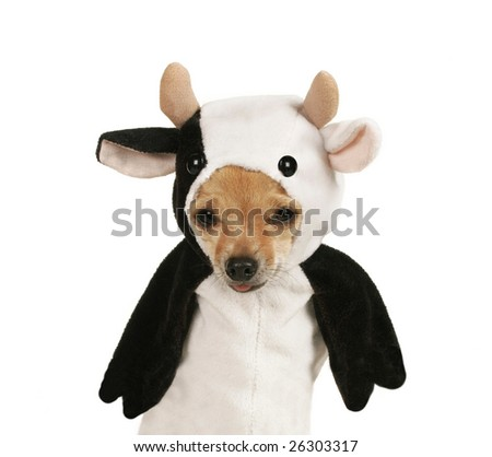 a tiny chihuahua dressed up in a cow costume