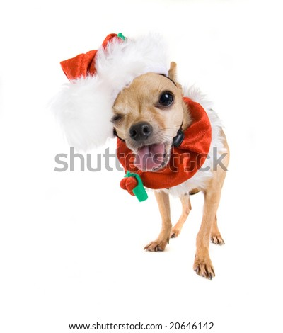 a tiny chihuahua dressed up in a santa suit - stock photo