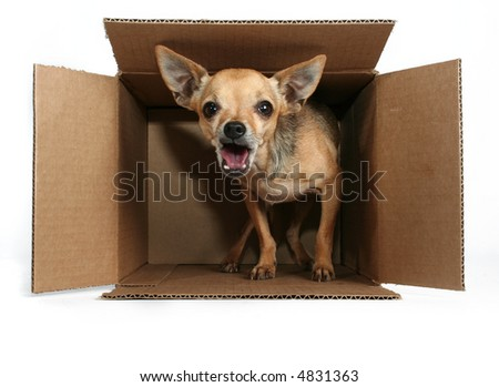 a tiny chihuahua in a box for the mail - stock photo