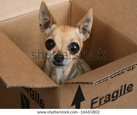 a tiny chihuahua in a box marked fragile - stock photo