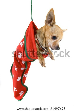 a tiny chihuahua in a christmas stocking - stock photo
