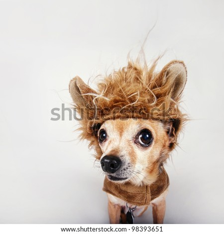a tiny chihuahua in a lion costume - stock photo