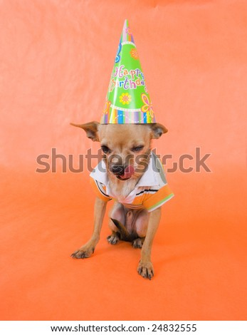 a tiny chihuahua in party attire
