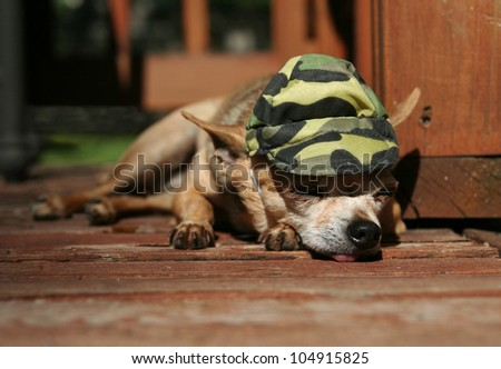 a tiny chihuahua lying on a porch or patio deck - stock photo