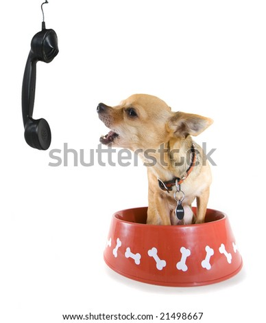 a tiny chihuahua placing an order on the phone! - stock photo