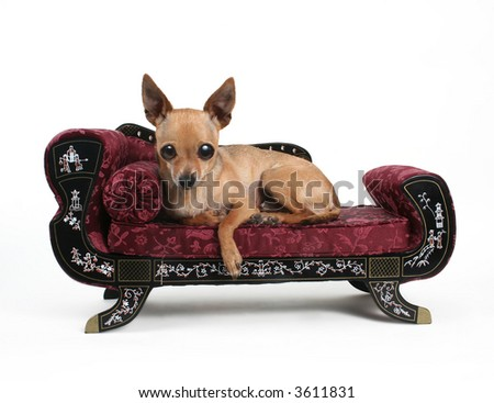 a tiny chihuahua resting on a sofa