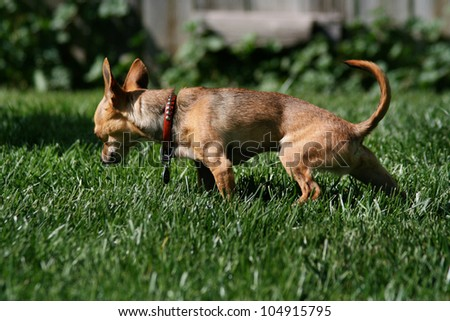 a tiny chihuahua urinating in the grass - stock photo