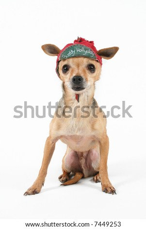 a tiny chihuahua with a christmas themed hat on