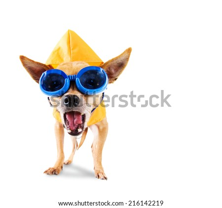 a tiny chihuahua with a raincoat and goggles on - stock photo