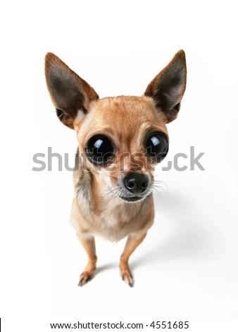 a tiny chihuahua with big eyes - stock photo