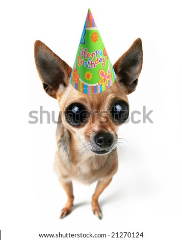 a tiny chihuahua with big eyes and a birthday hat - stock photo