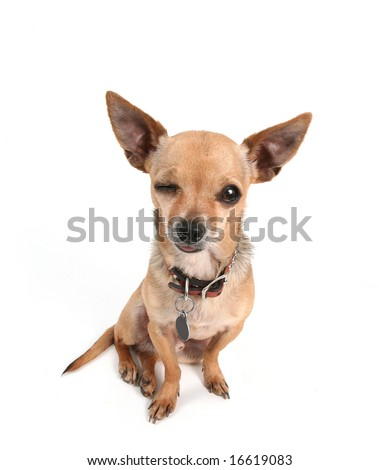 a tiny cute chihuahua on white - stock photo