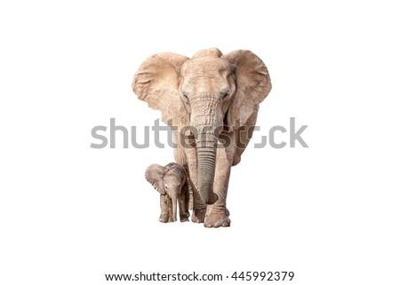 A tiny elephant calf, Loxodonta africana, walking next to its mother, isolated on white - stock photo