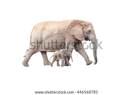 A tiny elephant calf, Loxodonta africana, walking next to its mother isolated on white