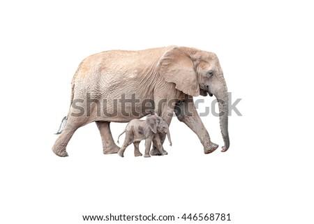 A tiny elephant calf, Loxodonta africana, walking next to its mother isolated on white - stock photo