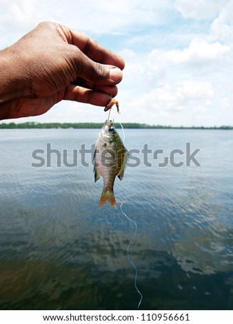 a tiny fish caught while fishing using worm as the bait at a Florida lake. - stock photo