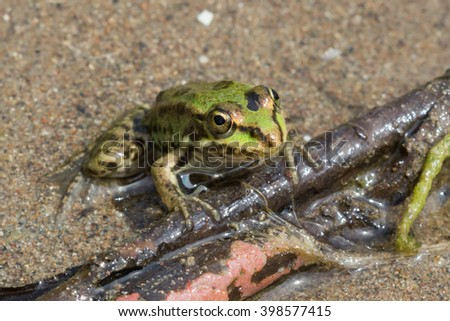 A tiny frog sitting on the small twig lying on the sand of the river Sok. - stock photo