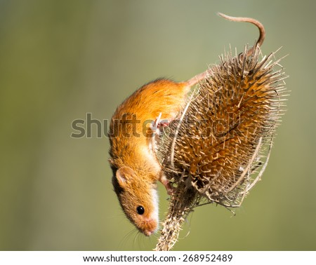 A tiny Harvest Mouse on a thistle head - stock photo